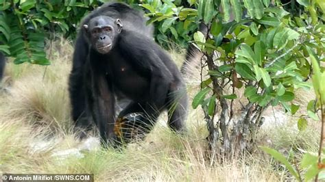 Brutal Footage Captures The Worlds First Evidence Of Chimps.