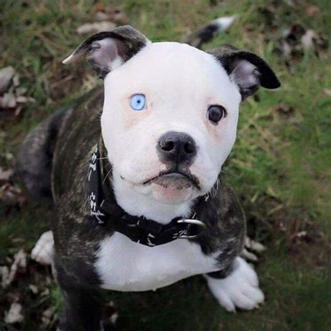 Bull Terrier (white) - Aubrey Animal Medical Center.