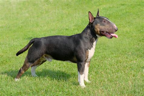 Bull Terrier Dog Breed Information - Inside Dogs World.