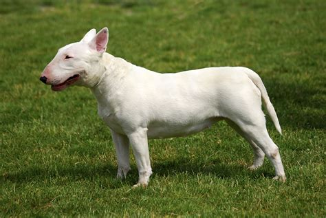 Bull Terrier Dog Breed Information, Pictures, Characteristics & Facts.