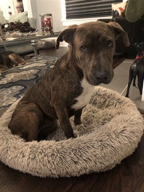 Bull Terrier Puppies In Denver - Adopt-A-Pet.com.