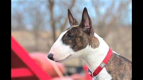 Bull Terrier Puppy - Training Session Using Very Simple Equipment.