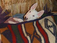 Bull Terrier Rescue, Inc. Available Dogs.
