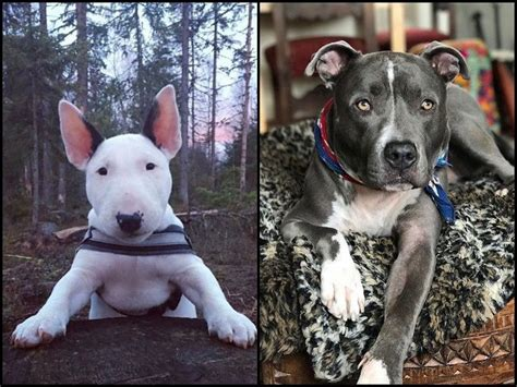 [click]bull Terrier Vs Pit Bull A Quick Guide About The 2