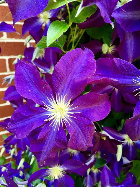 Clematis Climbing Flowers