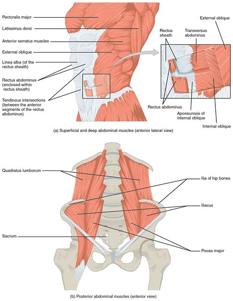 [pdf] Core Muscle Use In Superficial And Deep Abdominal Muscles .