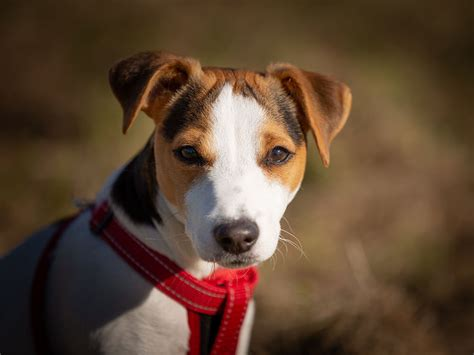 Difference Between Parson, Jack Russell And Russell Terrier.