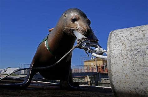 Dolphins, Sea Lions Train For Navy Deployment To Overseas Trouble.