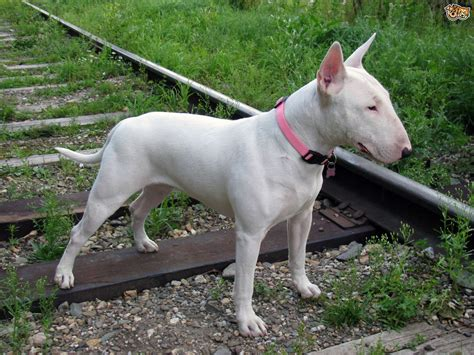 English Bull Terrier Dog Breed Facts, Highlights & Buying Advice.