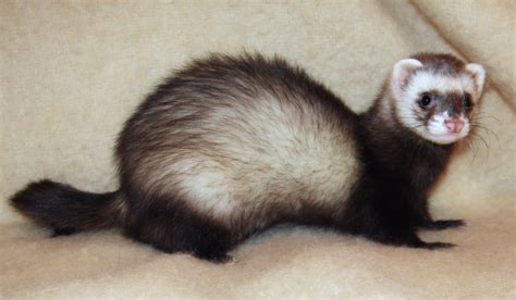[click]ferret - Wikipedia.