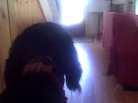[click]flash Gordon Setter And Scarlett Irish Setter Barking Before Bird  Deer Hunting.