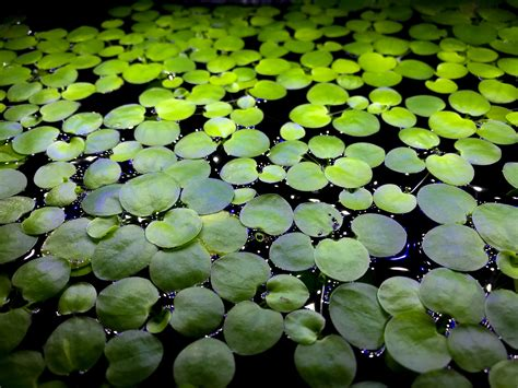 Floating Aquarium Plants