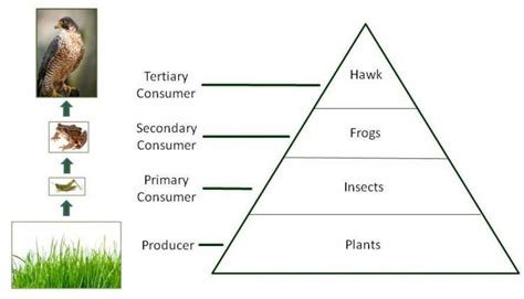 Food Chains, Food Webs, And Energy Pyramids Texas Gateway.