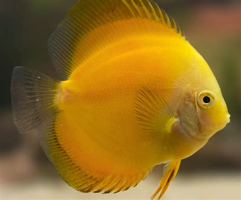 [click]golden Yellow Discus  Yellow Discus Fish  Discusguy.