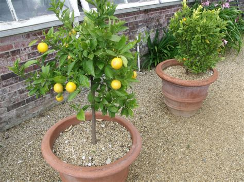 [click]growing Citrus Trees In Containers  Potted Citrus Trees.