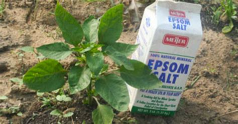 @ How To Supercharge Your Backyard Garden With Epsom Salt.
