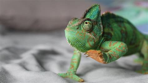 @ How To Get Rid Of Chameleon Care Guide - Only Product In .
