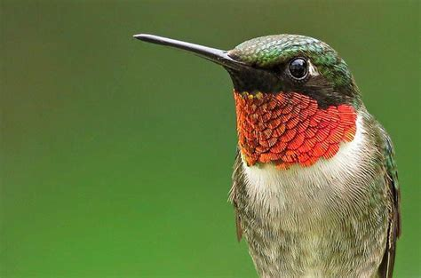 Hummingbird Information- Helpful information about the popular hummingbird!
