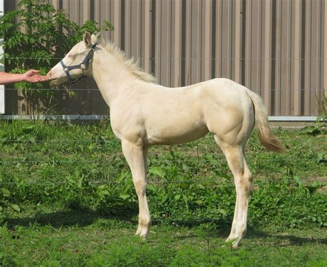 [pdf] Indiana Registered Quarter Horses - 2003 Name Of Foal .