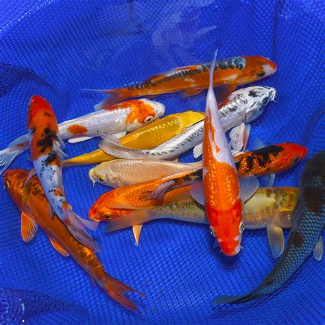 @ Koi Fish For Sale -Best Selection Online -Butterfly .