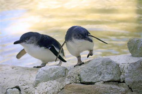 Kangaroo Island Australia Penguins