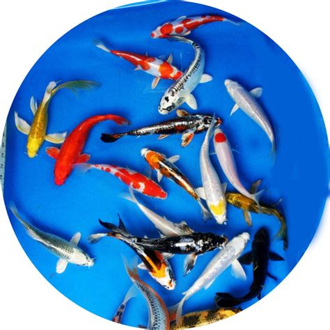 [click]koi Price List Hanover Koi Farms.