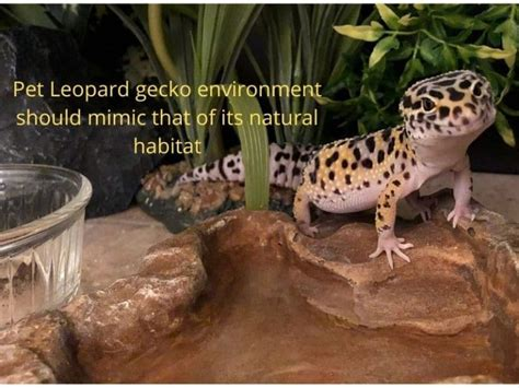 @ Leopard Gecko Temperatures  Humidity - Reptifiles.