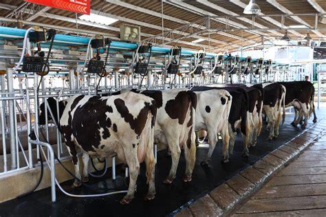 Livestock Cow's Milk Factories