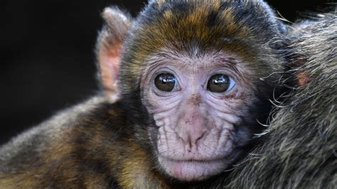 Monkeys Small Brain Shows Surprising Folds Science News.