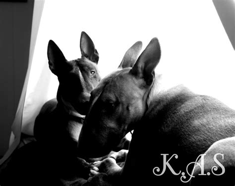 Multi-Dog Households/introducing A New Dog. - All About Bull Terriers.