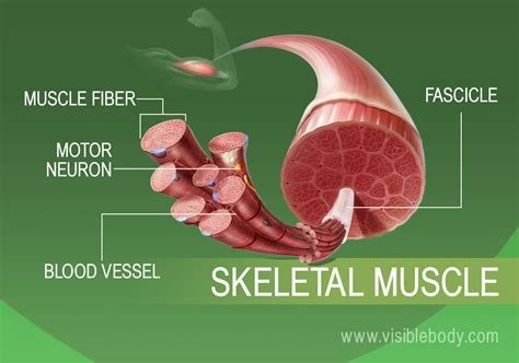 Muscle Tissue Types Learn Muscular Anatomy - Visible Body.