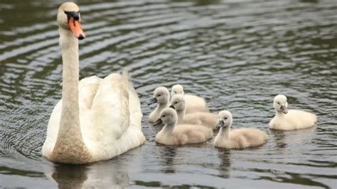 [pdf] Mute Swan - Environment And Climate Change Canada.