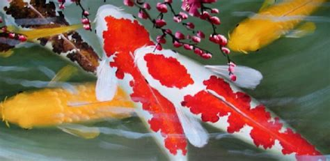 @ Raising Healthy Koi Fish - Apps On Google Play.