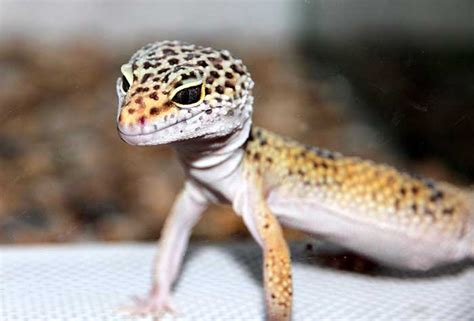 @ Save Your Leopard Gecko   Leopard Gecko Care   The Daily .