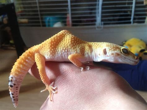 @ Save Your Leopard Gecko - Leopard Gecko Care.
