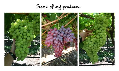 The Complete Grape Growing System - Vídeo Dailymotion.
