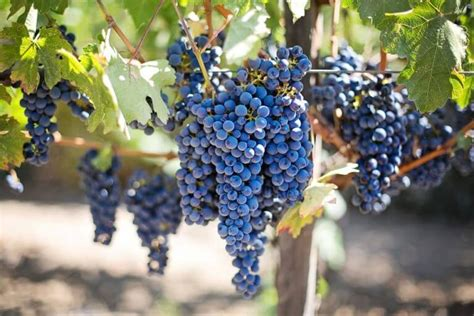 The Complete Grape Growing System Review - Honest, Detailed.