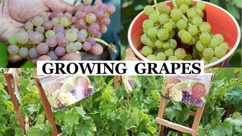 The Complete Grape Growing System.com Review 1 On Vimeo.