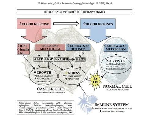 [pdf] The Mitochondrial Theory Of Cancer And The Ketogenic Diet .