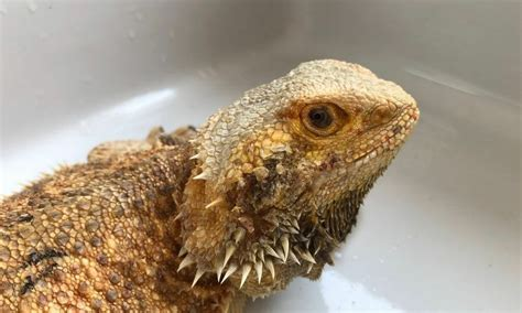 @ The Truth About Bearded Dragons Are They Actually .