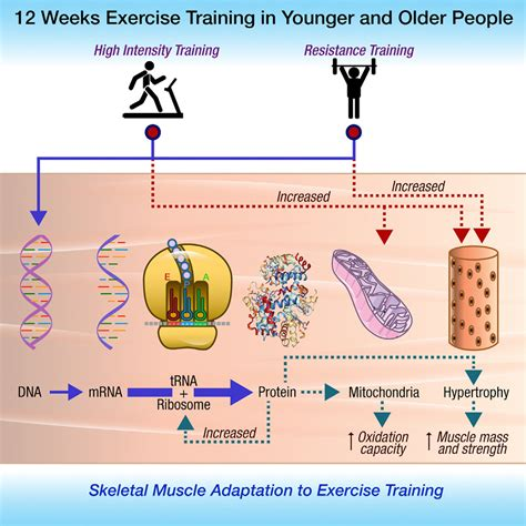 The Exercise Training Effects Of Skeletal Muscle Strength And Muscle.