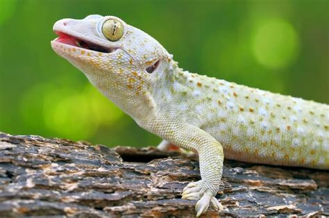 [click]tokay Gecko Care Sheet  Gecko Care.