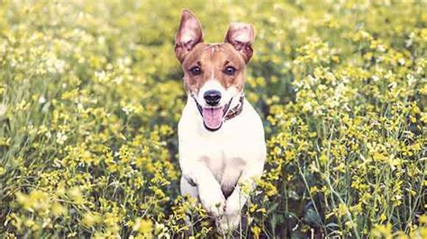 What Are Jack Russell Terriers Compatible With? Petcarerx.
