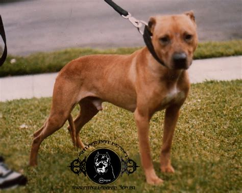 Yellow Frisco Pitbulls - Ali.