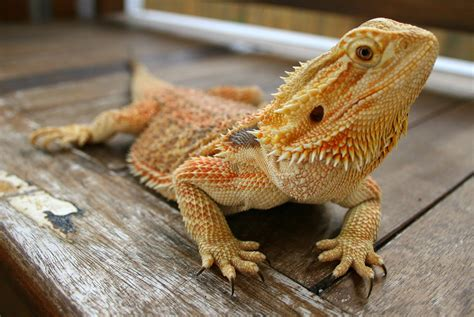 [pdf] Your Guide To Bearded Dragons - Jollyes Co Uk.