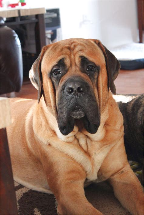 Zeland Mastiffs.