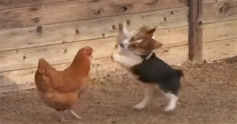Corgi Lawyer Dog Adorable Moment Duck And Chicken Fight With Corgi Puppy