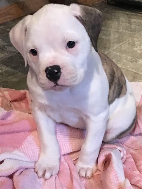 Main-Keyword American Bulldog For Sale.