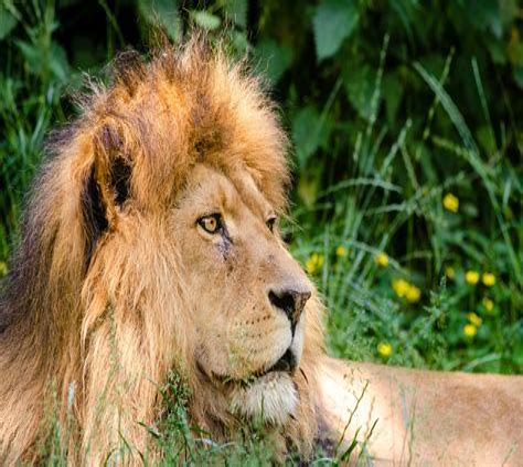 Ammunition Ammunition For African Lion.