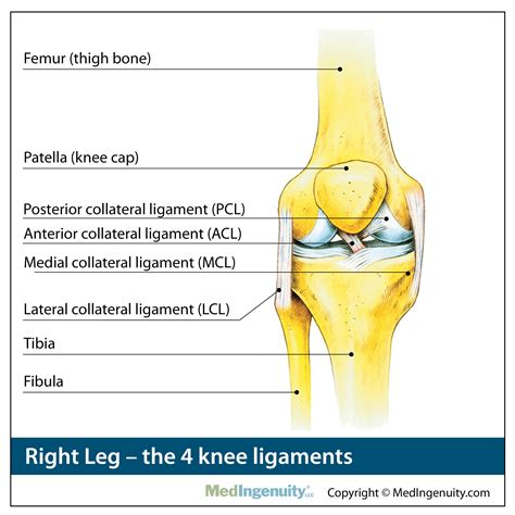 anatomy of knee tendons and ligaments